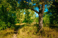 Autumn Sunny Forest Trees, Green Grass, Lane, Path Royalty Free Stock Photo