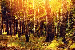 Autumn sunny forest view Royalty Free Stock Photos