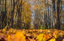 Autumn sunny landscape in the maple park. Autumn sunny landscape in the maple park royalty free stock photo