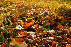 Autumn sunny landscape with pink flower of clover among the autumn fallen leaves Stock Photo