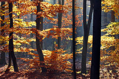 Autumn. Sunny morning in autumnal forest Royalty Free Stock Photography
