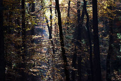 Autumn. Sunny morning in autumnal forest Royalty Free Stock Photos