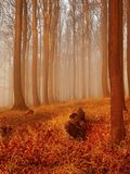 The autumn sunrise in beech forest. Fog between naked beech trees without leaves. Stock Image