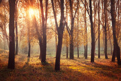 Autumn sunrise in forest Royalty Free Stock Photos