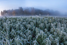Frozen nettle. In the cold autumn morning Stock Images