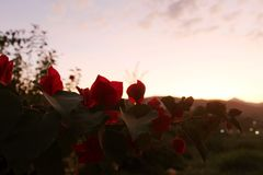 Beautiful red flowers contrasting with the autumn sunset stock image
