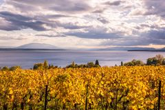 Autumn Sunset over Golden Vines and Lake on a Sunny and Cloudy D royalty free stock image