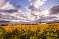 Autumn Sunset over Golden Vines and Lake on a Sunny and Cloudy D royalty free stock photography