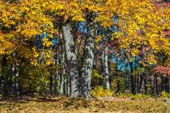 Autumn Sunshine dourado Fotografia de Stock Royalty Free