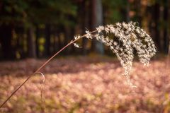 Autumn Susuki grass stock image