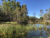 Autumn swamp landscape. Autumn in the swamp Stock Image