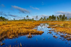 Autumn on the swamp, beautiful colors Royalty Free Stock Photo