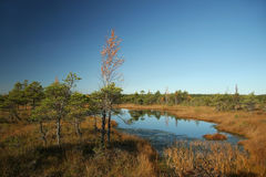 Autumn swamp. Cane grows in the swamp Royalty Free Stock Photography