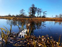 Autumn swamp in Florida. Swamp flowers and cypress trees on the shore of the river stock image