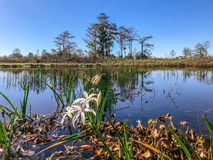 Autumn swamp and flowers. Swamp flowers and cypress trees on the shore of the river royalty free stock photos