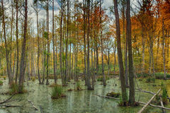 Autumn swamp in forest. Colorful leaves on swamp in forest. Autumn scene Royalty Free Stock Photo