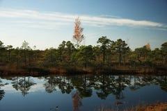 Autumn swamp. Kemeri, Latvia Stock Photos