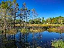 Autumn swamp landscape. Autumn in the swamp Royalty Free Stock Photo