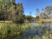 Autumn swamp landscape. Autumn in the swamp Royalty Free Stock Images