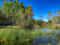 Autumn swamp landscape. Autumn in the swamp Stock Photo