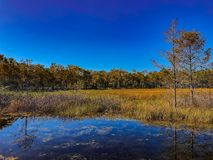 Autumn swamp landscape. Autumn in the swamp Stock Photography