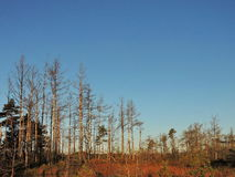 Autumn in swamp, Lithuania Royalty Free Stock Photography