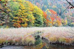 Autumn swamp scenery with beautiful autumn foliage reflected on water Royalty Free Stock Images