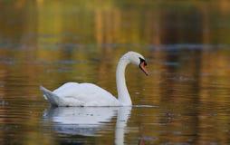 Autumn Swan royalty-vrije stock afbeelding