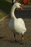 Autumn Swan Royalty Free Stock Photos