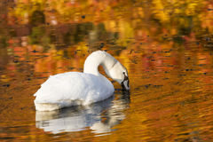 Autumn Swan. Colors of autumn reflecting around a swan Stock Images