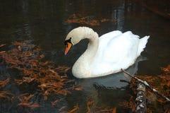 Autumn Swan Stock Images