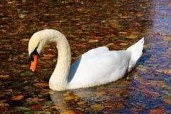 Autumn Swan Fotos de archivo libres de regalías