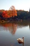 Autumn Swan Lizenzfreie Stockbilder