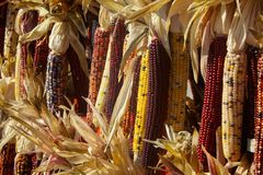 Autumn Sweet Colored Corn Fotos de archivo