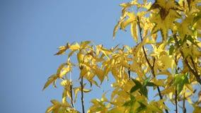 Autumn sweetgum tree blowing. Liquidambar styraciflua or sweetgum with yellow leaves rustling with fall Autumn colors stock footage