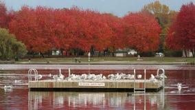 Autumn Swim Float forell sjö, Vancouver stock video