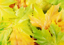 Autumn sycamore leaves. Multicoloured carpet of fallen autumn sycamore leaves. Can be used as background Stock Image