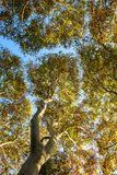 Autumn sycamore tree. Beautiful Autumn sycamore tree leavs stock image
