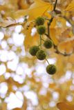 Autumn Sycamore Tree Seed Pods stock photography