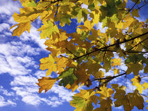 Autumn sycamores. Golden sycamore leaves captured against a cotton-candy sky Stock Photography