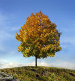 Autumn symbol. Beautiful tree with golden leaves stands on the hill Stock Photos