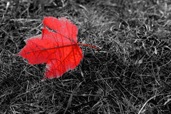 Autumn Symbol. A single red leaf fallen on grass makes a strong symbol for autumn Stock Images