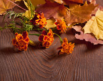 Autumn Tagetes flowers Stock Photography