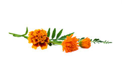 Autumn tagetes flowers Royalty Free Stock Photography