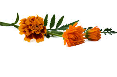 Autumn tagetes flowers Royalty Free Stock Images