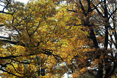 Autumn tall broad-crowned golden-leaved trees Royalty Free Stock Images