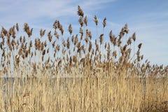 Autumn tall grass on the banks of Lake Pleshcheyevo. Royalty Free Stock Image