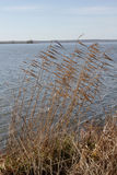 Autumn tall grass on the banks of Lake Pleshcheyevo. Royalty Free Stock Images