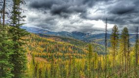 Autumn Tamaracks With Stormy Sky. Tamaracks changing color in October in Eastern Washington State.  The Tamarack or Western Larch is a conifer pine tree that has Stock Image