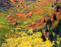 Autumn Tapestry. Colorful trees and bushes on a hillside in Logan Canyon, Utah Royalty Free Stock Images